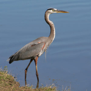 great-blue-heron-fishing-3