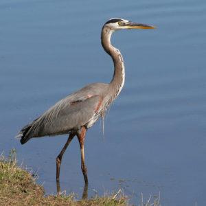 great-blue-heron-fishing-3